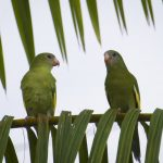 Two lovely green parrots sitting on a palm tree in Leticia, Colombian Amazon