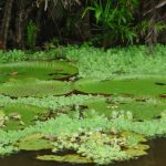 The iconic giant floating water lilies found only on the Amazon river and it's tributaries