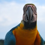 Spotted a Blue-and-yellow macaw while wildlife watching in the Amazon Rainforest, Colombia