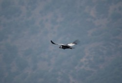 The condor flying over the Andes Mountain Range