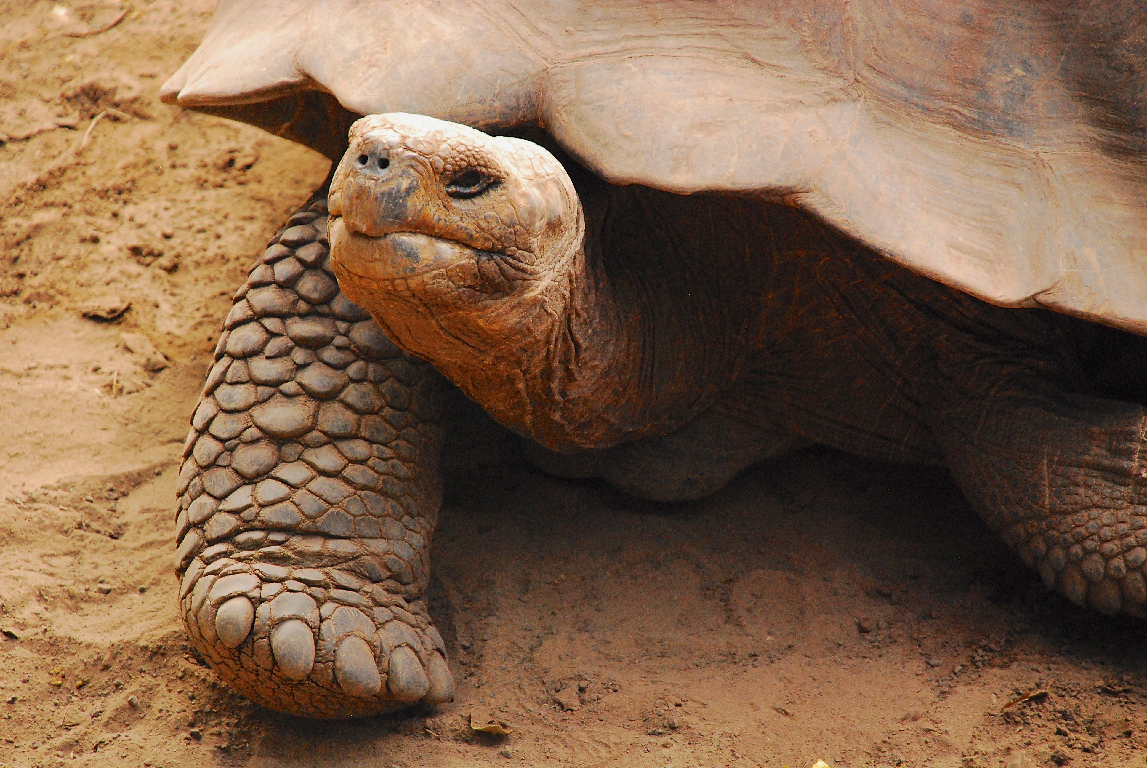 Tortoise in Santa Cruz Island, Galapagos tour, Ecuador