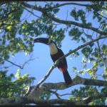 Toucan, Amazon, Brazil