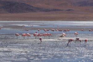 Pink flamingos in the Uyuni Salt Flat, Bolivia