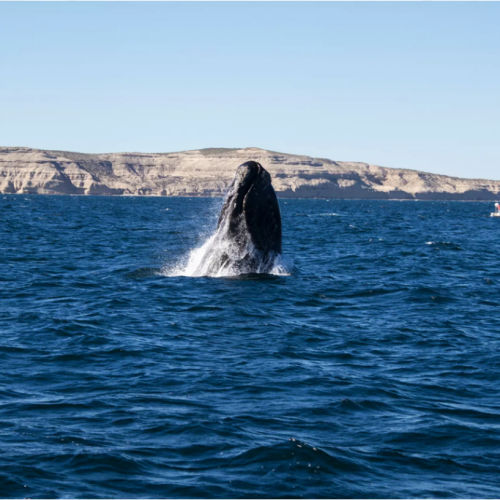 Whale-watching in Peninsula Valdes, Argentina. Photo credit: Nuno Torres