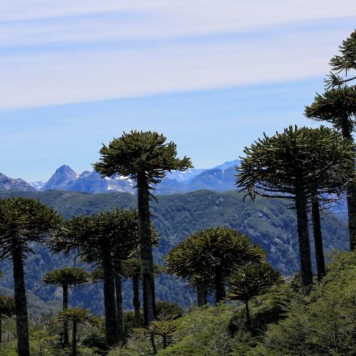 Monkey Puzzle trees are a wonderfully exotic sight in Curarrehue, Chile