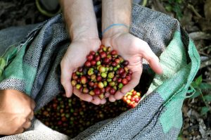 Fresh coffee beans picked straight from the tree. At this stage they are surprisingly fruity and rich in colour