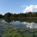 Victoria amazonica, queen of the water lilies, near Leticia, Colombian Amazon
