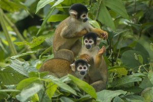 Charming squirrel monkey family in the Peruvian Amazon