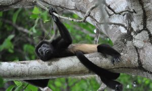 A Howler Monkey relaxing in the trees of Cerro Escondido, Costa Rica