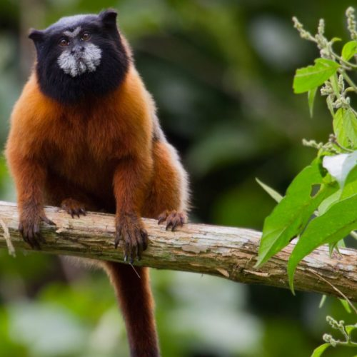 A Brown-mantled tamarin near the Yasuni Kichwa Ecolodge in the Amazon, Ecuador