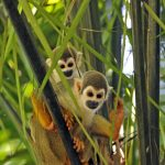 Two stunning Squirrel monkeys in the Yasuni National Park, Ecuador