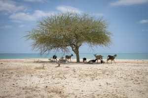 Goats looking for shade under a tree in La Guajira Colombia