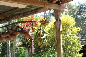 Fresh fruits hanging as decoration, waiting to be eaten, at Juanilama community - Rural tourism in Costa Rica
